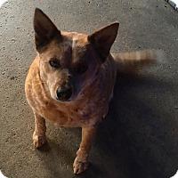 Adopt A Pet :: Red Munchkin, Urgent Situation - Corona, CA
