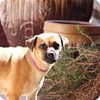 Adopt A Pet :: Lily Bean - Phoenix, AZ