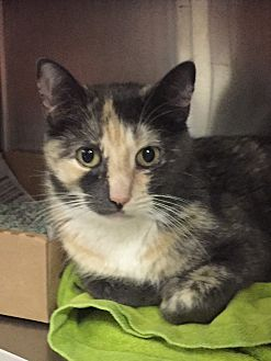 Domestic Shorthair Cat for adoption in Manchester, New Hampshire - Spice-A saucy girl@Petsmart