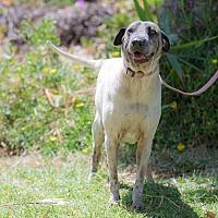 Shar Pei/Shar Pei Mix Dog for adoption in Corona, California - Sophie