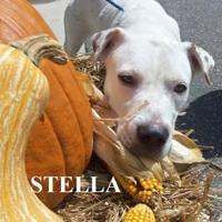Adopt A Pet :: STELLA - Franklin, NC