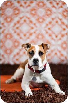 Boxer Mix Dog for adoption in Portland, Oregon - Hope