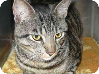 Domestic Shorthair Cat for adoption in San Clemente, California - WRIGLEY