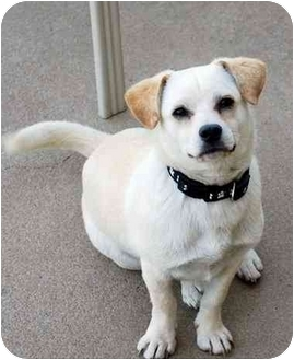 Chihuahua/Chihuahua Mix Puppy for adoption in Broomfield, Colorado - Teddy Boy