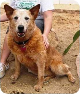 Australian Cattle Dog Mix Dog for adoption in Phoenix, Arizona - Tracey **ADOPTION PENDING**