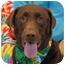 Photo 1 - Labrador Retriever Dog for adoption in Las Vegas, Nevada - Reagan