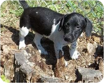 Rat Terrier Mix Puppy for adoption in Albany, New York - Fiscella