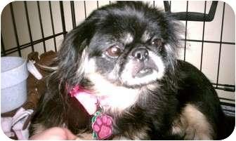 Pekingese Dog for adoption in Oklahoma City, Oklahoma - Shasha