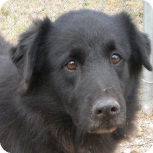 Labrador Retriever Mix Dog for adoption in Athens, Georgia - Franklin