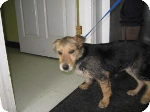 Shepherd (Unknown Type) Mix Puppy for adoption in Rocky Mount, North Carolina - Betty