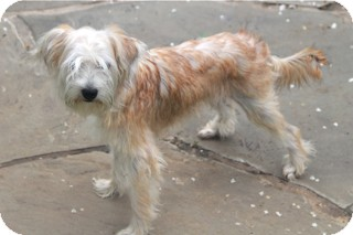 Terrier (Unknown Type, Small) Mix Dog for adoption in Norwalk, Connecticut - Phoebe
