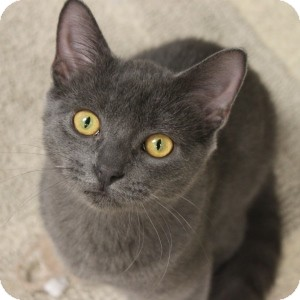 Domestic Shorthair Kitten for adoption in Naperville, Illinois - Phineas