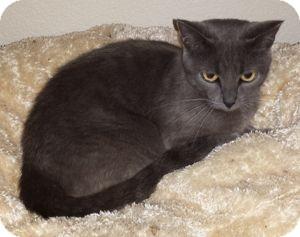Russian Blue Cat for adoption in Colorado Springs, Colorado - Antoinette