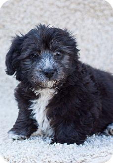 Cockapoo/Poodle (Toy or Tea Cup) Mix Puppy for adoption in Auburn, California - Luke