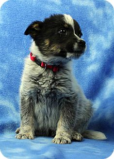 Australian Cattle Dog Mix Puppy for adoption in Westminster, Colorado - Henry