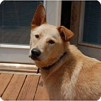 Adopt A Pet :: Shep - Seneca, SC