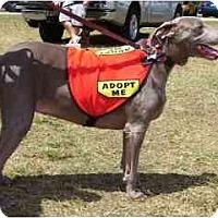Adopt A Pet :: Mercedes(PUREBRED),FL - Miami Beach, FL
