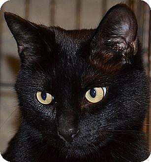 Siamese Cat for adoption in Taftville, Connecticut - Chumsi