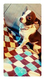 Chihuahua Puppy for adoption in Coats, North Carolina - Priscilla