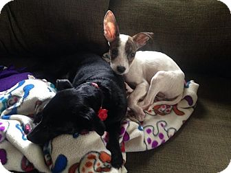 Chihuahua/Jack Russell Terrier Mix Puppy for adoption in Garden City, Michigan - Stimpy