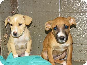 Labrador Retriever Mix Puppy for adoption in Henderson, North Carolina - Alamo Pups 4