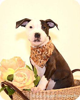 Terrier (Unknown Type, Medium) Mix Puppy for adoption in Farmington Hills, Michigan - Pickles