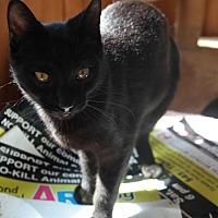 Domestic Shorthair Cat for adoption in San Pablo, California - EBONY