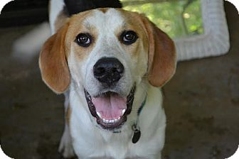 Hound (Unknown Type)/Beagle Mix Dog for adoption in Loveland, Ohio - Biggs
