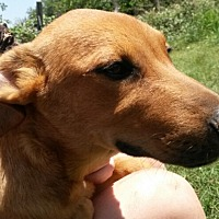 Mountain Cur/Labrador Retriever Mix Dog for adoption in East Hartford, Connecticut - Dillon