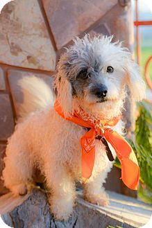 Poodle (Miniature) Mix Puppy for adoption in Corona, California - SWEETY