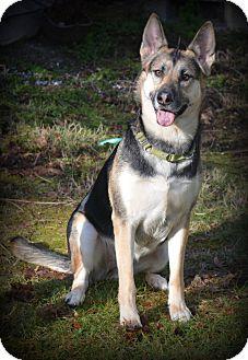 German Shepherd Dog/Husky Mix Dog for adoption in Gig Harbor, Washington - Kaiya