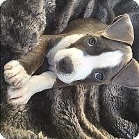 Adopt A Pet :: Chloe - Mission Viejo, CA