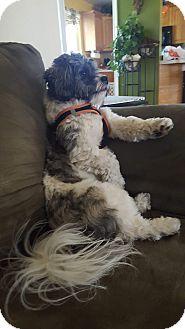 Bichon Frise/Shih Tzu Mix Dog for adoption in Hammonton, New Jersey - luca