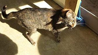 Domestic Shorthair Cat for adoption in Iroquois, Illinois - Harmony