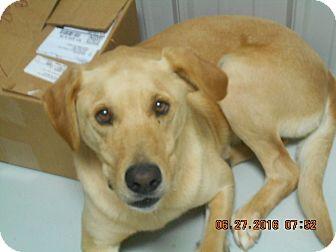Labrador Retriever Dog for adoption in Hartford, Kentucky - Yager