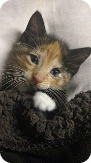 Calico Kitten for adoption in Homewood, Alabama - Bubbles