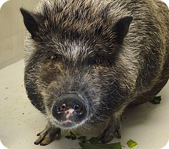 Pig (Potbellied) for adoption in Evansville, Indiana - Stella
