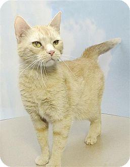 Domestic Shorthair Cat for adoption in Sedona, Arizona - Granny