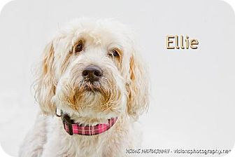 Wheaten Terrier Dog for adoption in Cedar Rapids, Iowa - Ellie