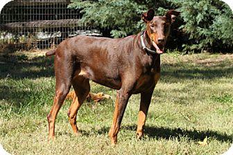 Doberman Pinscher Dog for adoption in Greensboro, North Carolina - KOTA