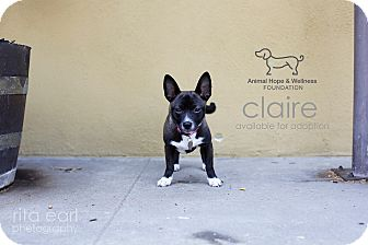 Jack Russell Terrier/Rat Terrier Mix Puppy for adoption in Sherman Oaks, California - Claire