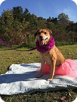 Labrador Retriever/German Shepherd Dog Mix Dog for adoption in Richmond, Virginia - Sydney