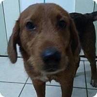 Adopt A Pet :: Blu - Manhasset, NY