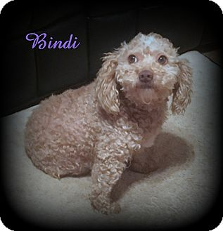 Poodle (Miniature) Dog for adoption in Denver, North Carolina - Bindi