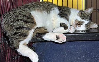 Domestic Shorthair Cat for adoption in Santa Fe, New Mexico - Bonita 2
