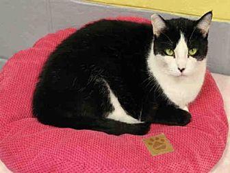 Domestic Mediumhair Cat for adoption in Hampton Bays, New York - ELOISE