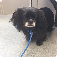 Adopt A Pet :: Pixie - N. Babylon, NY