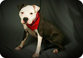 Pit Bull Terrier Mix Dog for adoption in Toms River, New Jersey - Princess