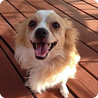 Adopt A Pet :: Cooper - Centreville, VA