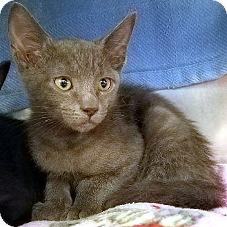 Domestic Shorthair Kitten for adoption in Stillwater, Oklahoma - Phillip